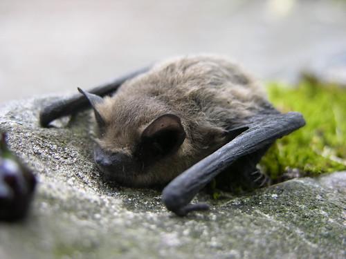 Une chauve-souris