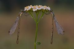 "Dragonflies, by ВЈukasz LeЕ""niak"