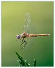 Dragonfly, by Antonio DГѓВaz