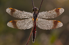 Dragonfly, unknown