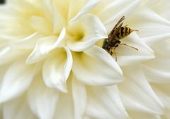 European Wasp, unknown