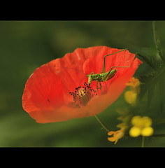 Grasshopper and Poppies, by Jagger