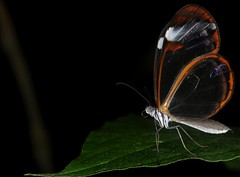 Tranperent Butterfly, unknown