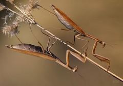 Mantises, by Sergey Kuranov