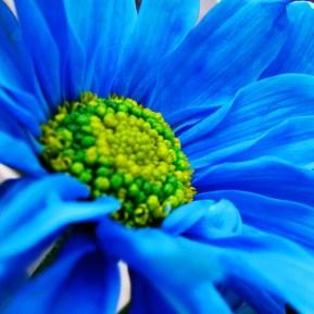 blue daisy - Luz Adriana Villa