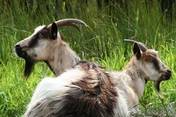 Opposite goats