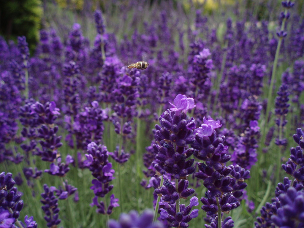 Photo:Flying Over Lavender By:Limbo Poet having a break for a while