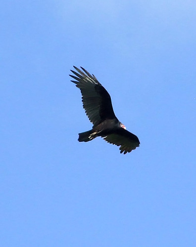 Turkey vulture in flight over Brush Mountain