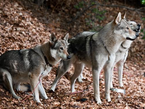 Czechoslovakian Wolf Dogs / Tschechoslowakischer Wolfshund