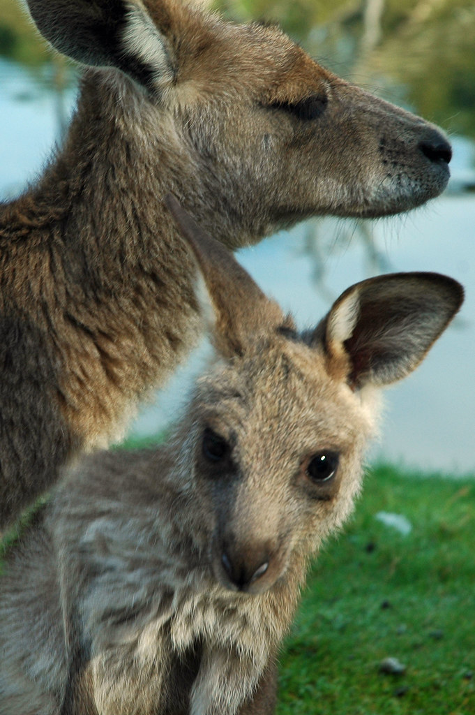 Mother and Joey