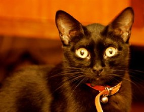 Astonished, black cat