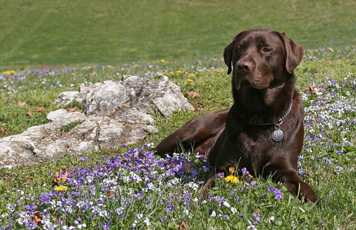 chocolate Labrador, Koto, lying in a field of flowers