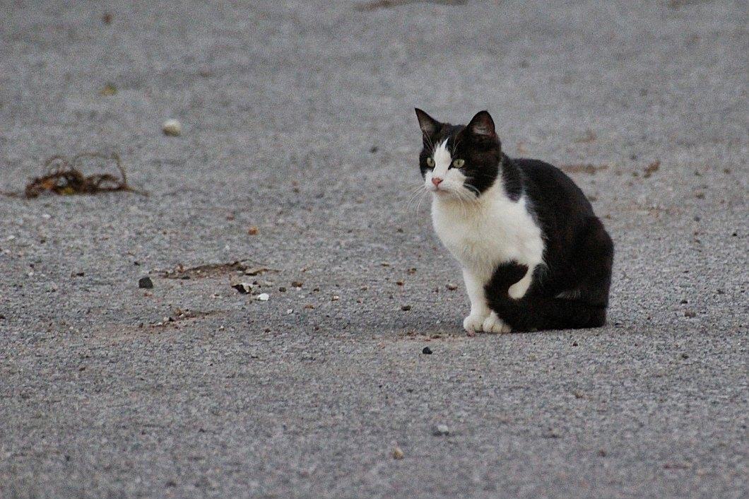 Imagen gratis de un gato blanco y negro