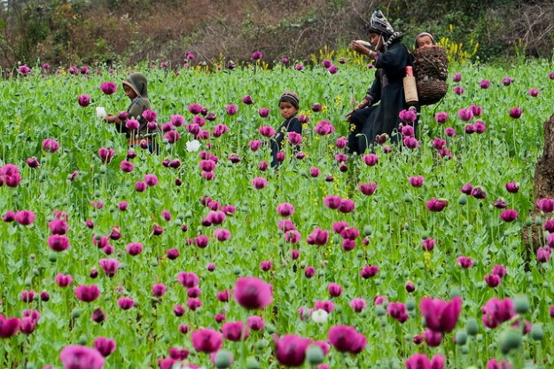 Opium poppies... Akha wealth.