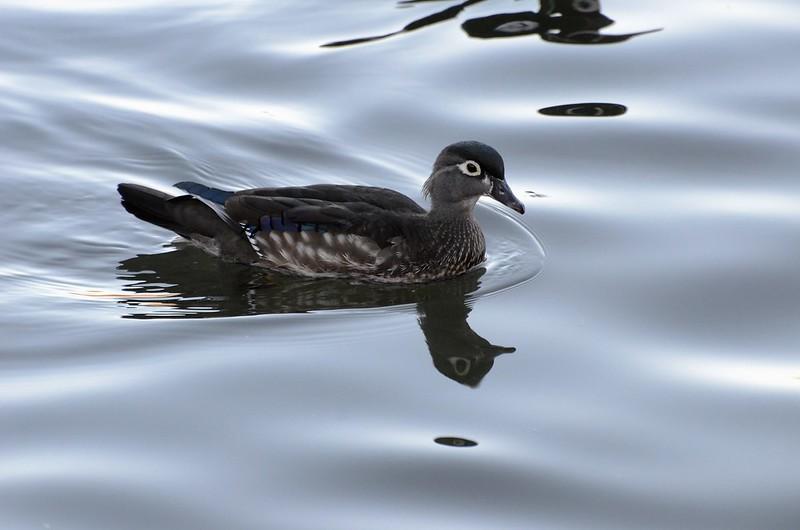 _DSC2535  Wood Duck (m)