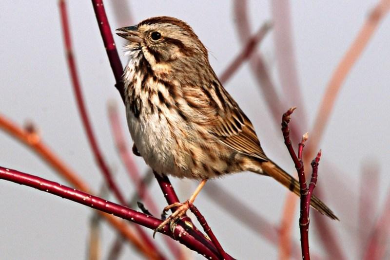 _DSC3852 Song Sparrow