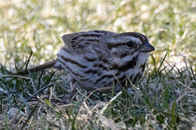 _DSC5237 Song Sparrow