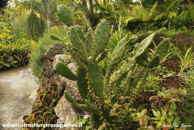 Jardín Botánico Tau Kiani (Isla de Pascua) - Quisco / Cactus