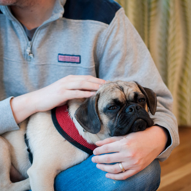 Cuddly pug Clarence