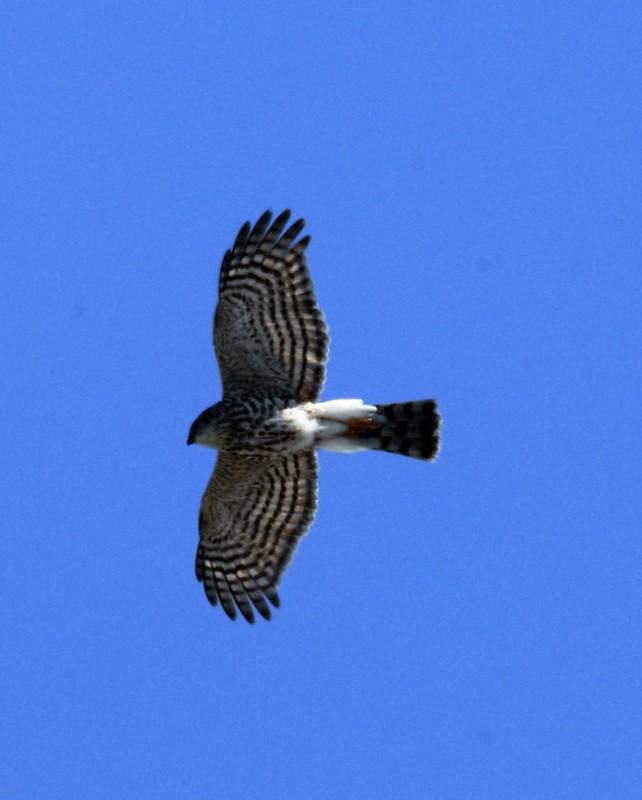 _DSC2954 Sharp-shinned Hawk (immature)