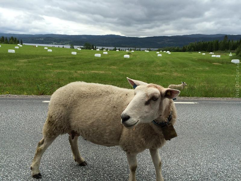 Und immer wieder Schafe... ganz viel Schafe