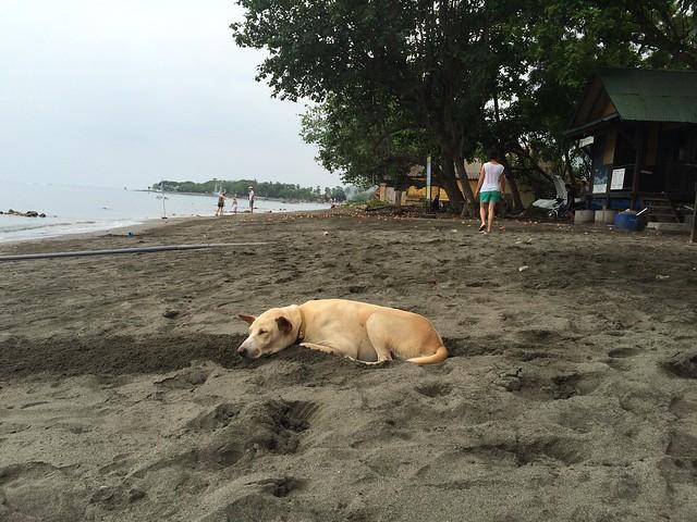 Lazy beach dog, Pemuteran