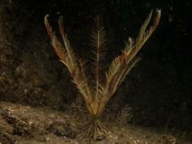 Celtic Feather Star (Leptometra celtica)