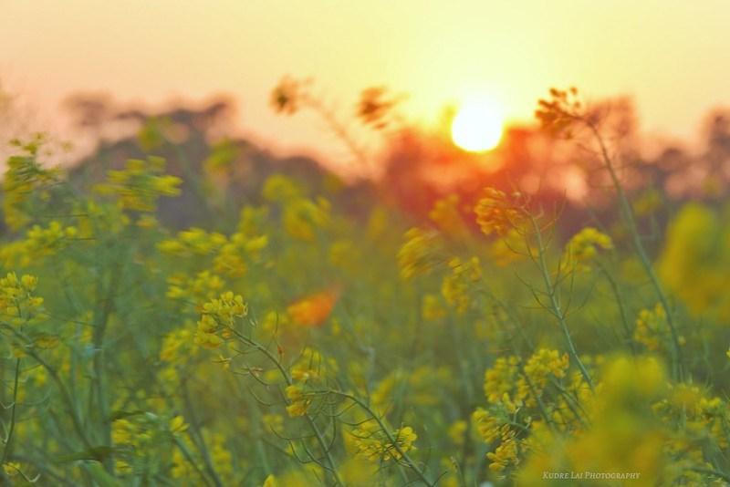 日夕花舞(Flowers dancing in sunset)