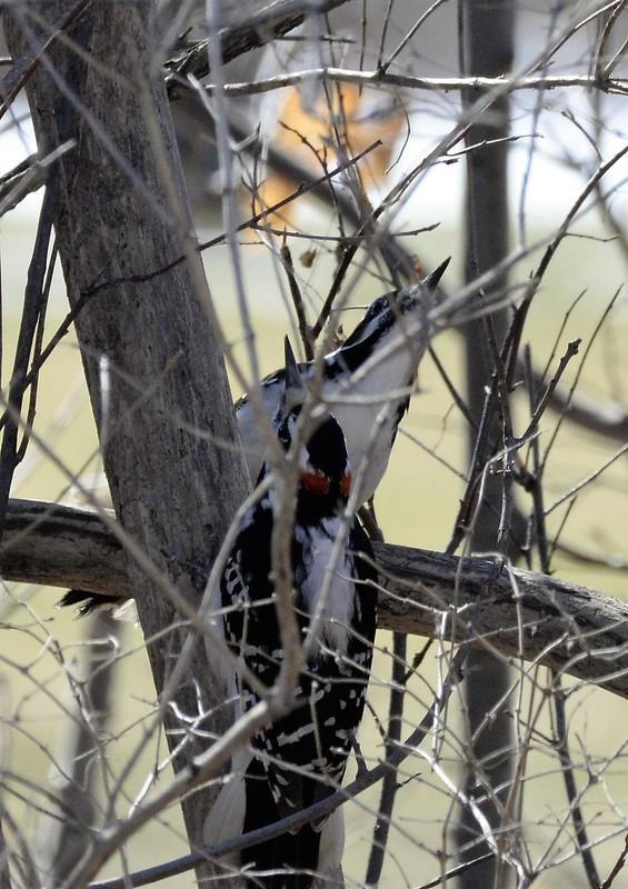 _DSC2992 Hairy Woodpecker