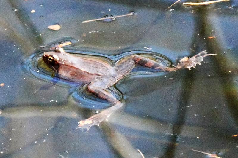 _DSC6257 Wood Frog