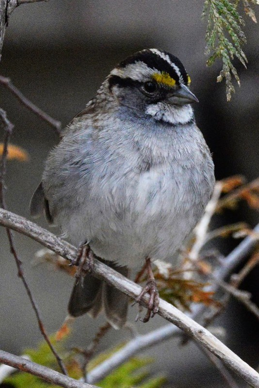 _DSC7494 White-throated Sparrow