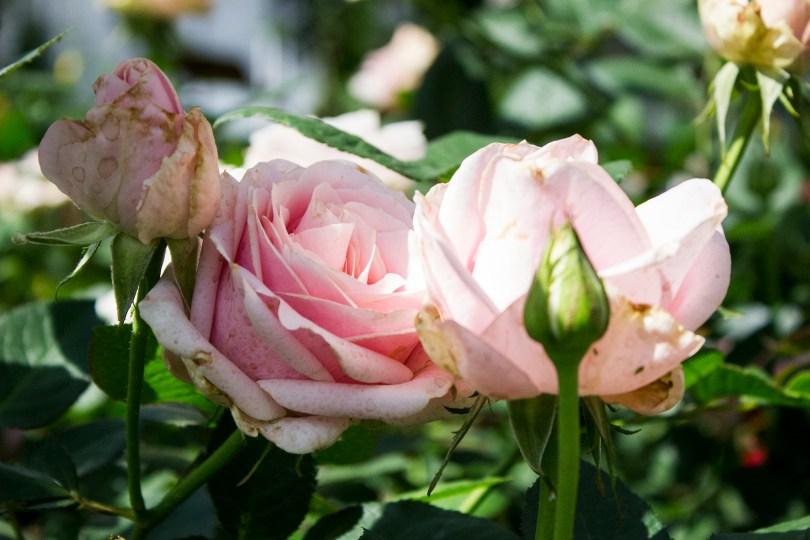 longwood-roses