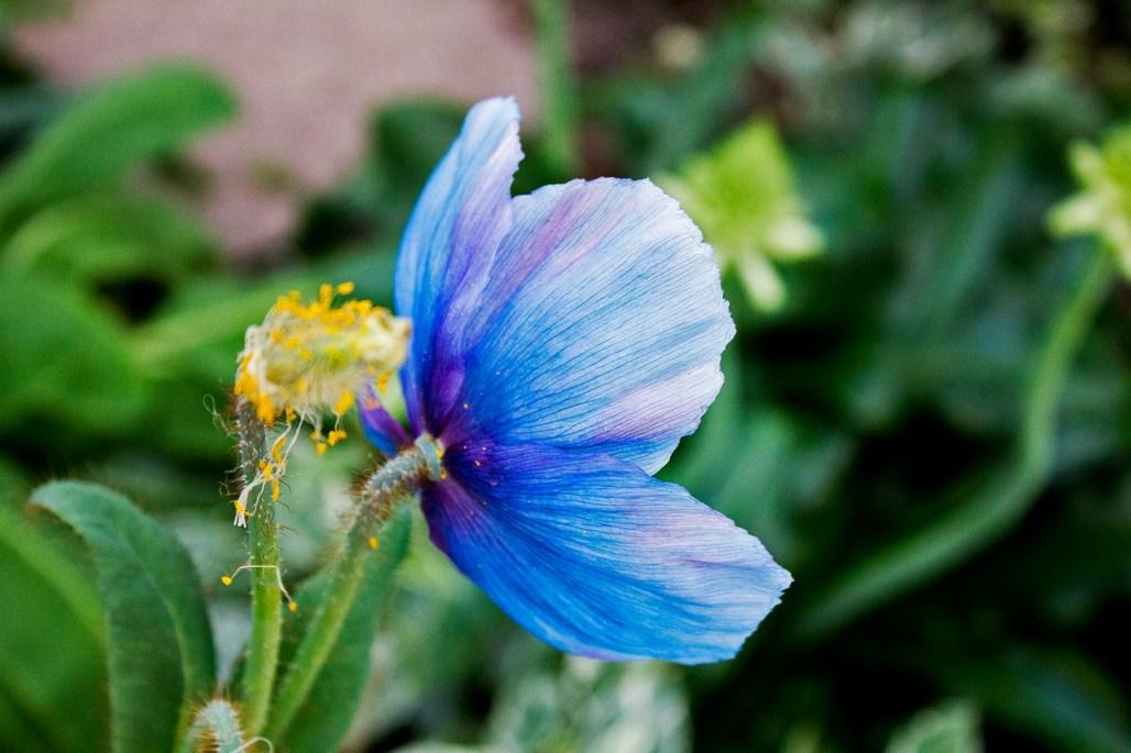longwood-blue-poppy-pollen
