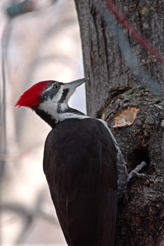 _DSC3941 Pileated Woodpecker
