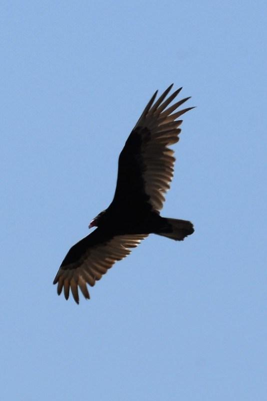 _DSC5869 Turkey Vulture