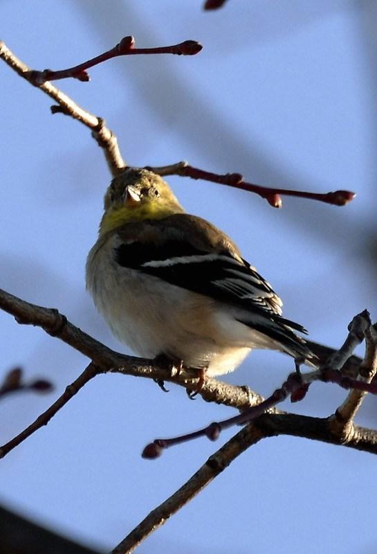 _DSC2727 American Goldfinch