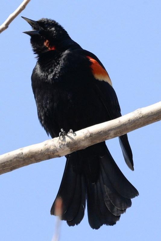_DSC5630 Red-winged Blackbird