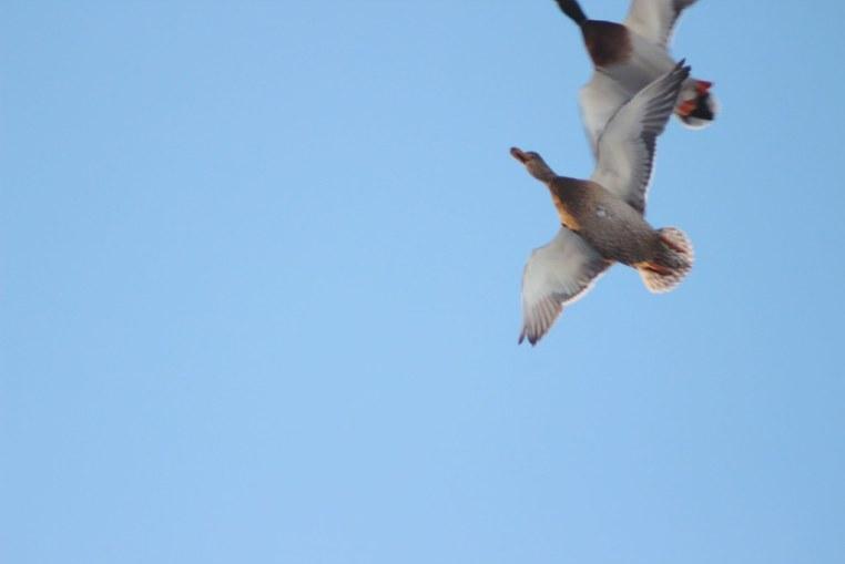 Duck wings