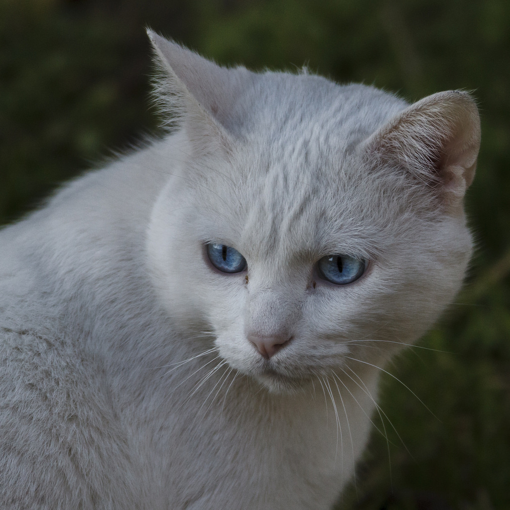 Imagen gratis de un gato blanco