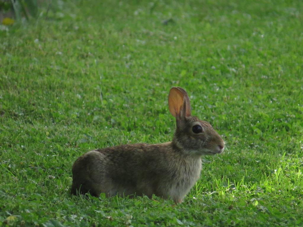 Imagen gratis de un conejo en el césped