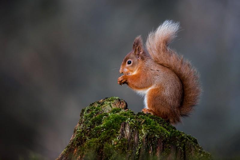 Red Squirrel - Scottish Highlands