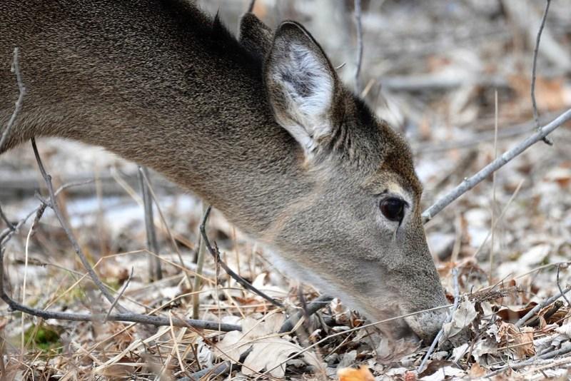 _DSC3178 White tailed Deer