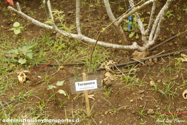 Jardín Botánico Tau Kiani (Isla de Pascua) - Toromiro