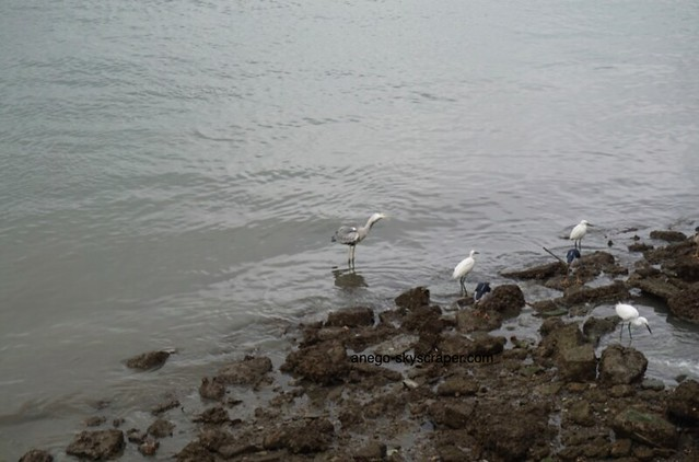 淡水 鷺・鷺・鷺