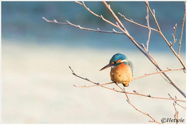 Kingfisher (HP002038)
