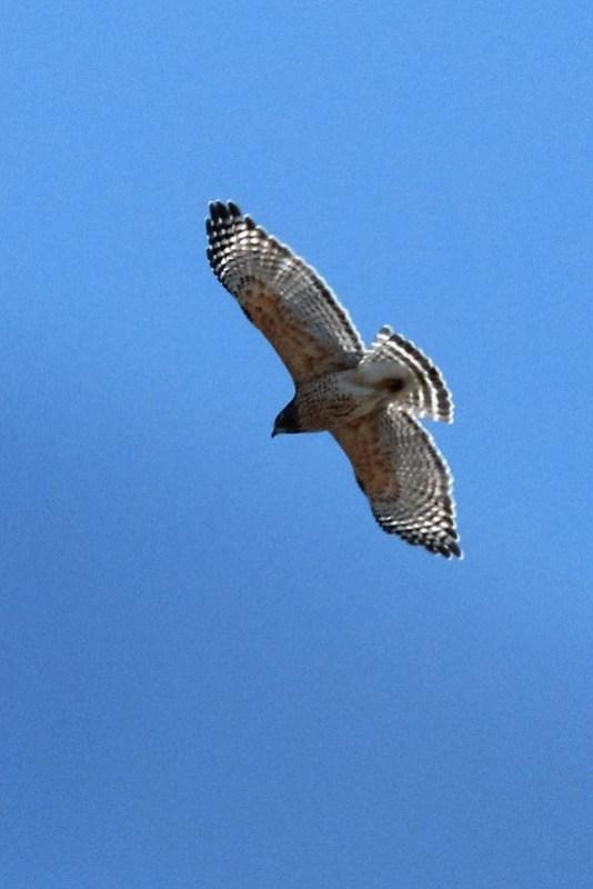 _DSC3698 Red-shouldered Hawk