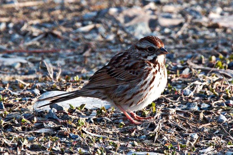 _DSC4273 Song Sparrow