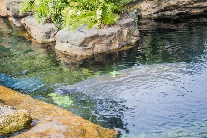 Sea World Orlando Manatees