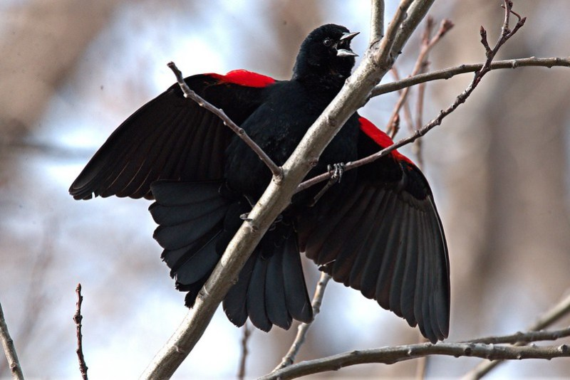 _DSC3750 Red-Winged Blackbird