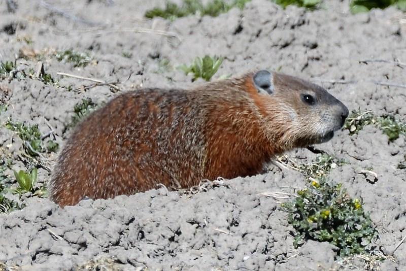 _DSC7084 Groundhog